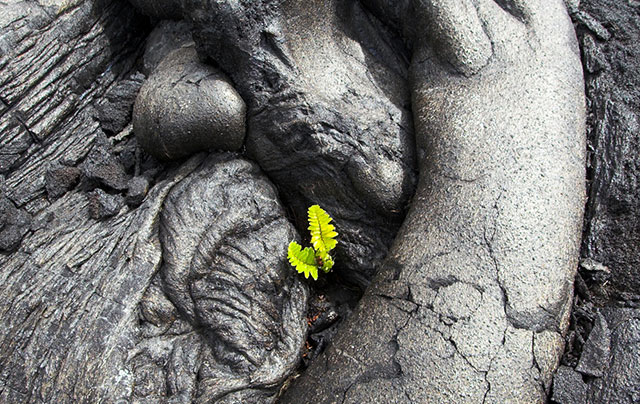 Small, lonely fern growing in black lava field
